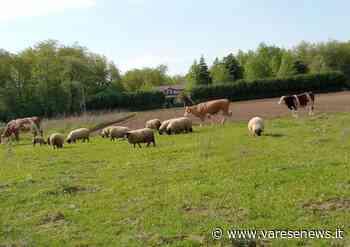 """La disperazione degli agricoltori di Fagnano Olona: """"Animali da cortile lasciati liberi di distruggerci il raccolto"""" - varesenews.it"""