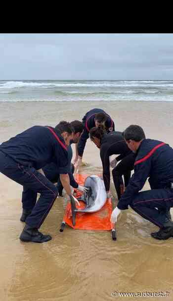 Mimizan : un dauphin échoué remis à l'eau par les secours - Sud Ouest