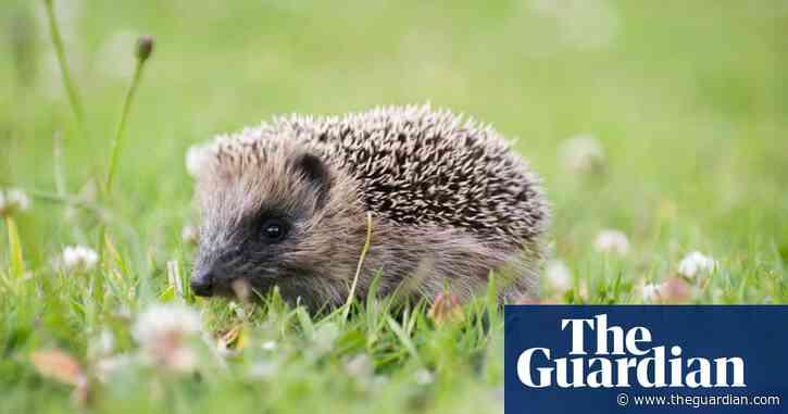 Killing machines: humble British hedgehog causes havoc in New Zealand