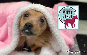 Help Maine Shelter Animals and Have Fun With the 2021 Mutt Strut - wcyy.com