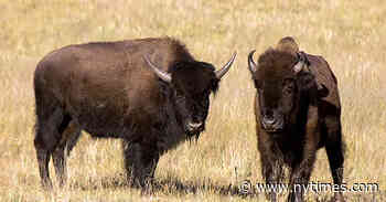 Grand Canyon Bison Hunt Draws 45,000 Applicants to Kill 12 Animals - The New York Times