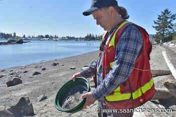 North Saanich's Tryon beach is a biological gold mine – Saanich News - Saanich News