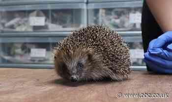Lancashire sanctuary's plea to help hedgehogs waking from hibernation