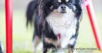 Vigevano, cagnolina smarrita: l'appello dei proprietari - Informatore Vigevanese