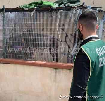 POZZUOLI/ Pitbull legato in un recinto al Rione Toiano salvato dalle guardie zoofile - Cronaca Flegrea