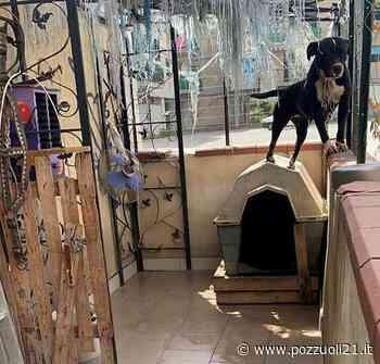 VIDEO/ Toiano: le guardie zoofile liberano un pitbull incatenato in casa - Pozzuoli21