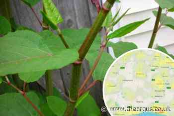 Revealed: Japanese knotweed infestation hotspots in Sussex