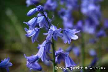 The best Essex spots for bluebell walks