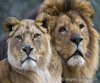 Coronavirus Crisis LIVE: After 8 Asiatic lions in Hyderabad, 2 lionesses test COVID positive in Etawah Safari Park - Jagran English