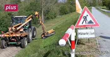 Gräser dienen dem Deichschutz in Ginsheim-Gustavsburg - Echo Online