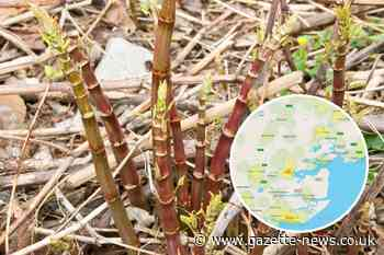 Japanese knotweed hotspots in Essex revealed