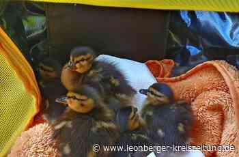 Rettungsaktion an der B 295 in Renningen: Gerettete Entenbabys bekommen ein neues Zuhause - Leonberger Kreiszeitung - Leonberger Kreiszeitung
