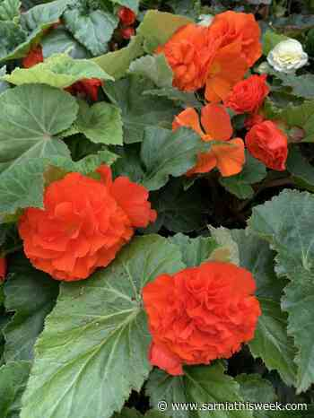 Resilient begonias like shade but will tolerate sunlight - Sarnia and Lambton County This Week