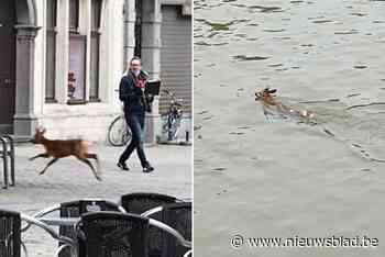 Hert huppelt plots op Antwerpse Grote Markt en zwemt later Schelde over