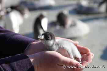 Penguin chicks hatch at city zoo