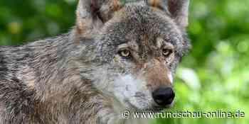 Neuer Wolf bei Engelskirchen: Vater des Tieres ist Rüde aus Leuscheider Rudel - Kölnische Rundschau