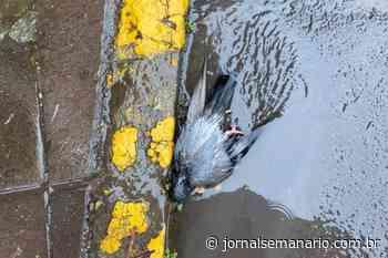 Exames devem indicar causa da morte de 13 pombos no Centro de Carlos Barbosa - jornalsemanario.com.br