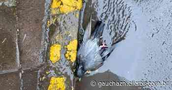 Morte de 13 pombos no Centro de Carlos Barbosa mobiliza proteção animal da cidade - GauchaZH
