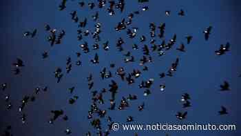 Parlamento aprova proibição do 'tiro aos pombos' proposta pelo PAN - Notícias ao Minuto