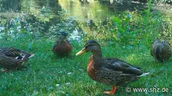 Enten werden zu dick: Glinde verbietet das Füttern von Wasservögeln   shz.de - shz.de