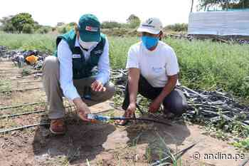 Lambayeque: con riego tecnificado agricultores de Reque optimizan sus cultivos - Agencia Andina