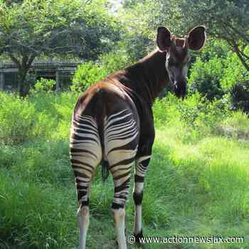 Beloved okapi at Jacksonville Zoo and Gardens passed away - ActionNewsJax.com