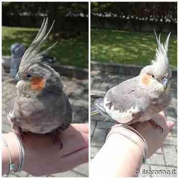 Splendido pappagallo trovato al confine fra Saronno e Solaro. Si cerca proprietario - ilSaronno