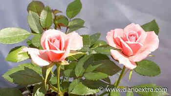 Aprenda cómo podar rosas miniatura - Diario Extra Costa Rica