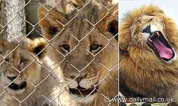 Mail on Sunday forces ban on cruel lion farms
