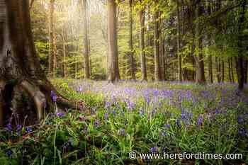Five of the best bluebell walks in Herefordshire