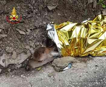 I Vigili del fuoco di Prato salvano un cerbiatto: il video fa il giro del web - intoscana - inToscana