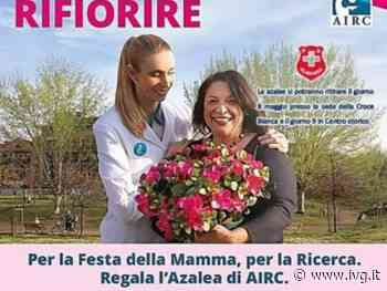 Albenga, per la festa della mamma la Croce Bianca sostiene l'AIRC distribuendo le Azalee - IVG.it