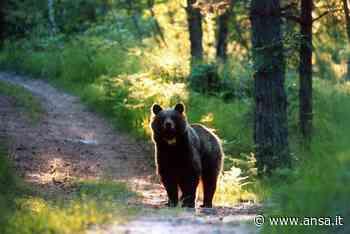 Orso sbrana una decina di animali sopra Marlengo - Agenzia ANSA