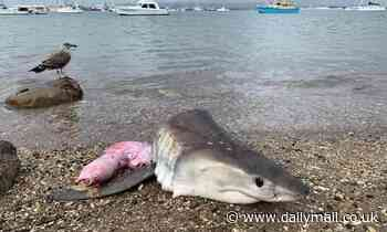 Tauranga, New Zealand: Great white shark head found with stab wounds on a beach