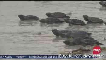 Liberan a casi 300 mil tortuguitas durante esta temporada en Campeche - Noticieros Televisa