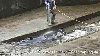 Rettung geglückt: Vier Meter langer Wal aus Themse-Schleuse befreit