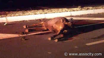 Bezerro morre atropelado entre Assis e Cândido Mota Acidente ocorreu na noite desta sexta-feira, 7 - Assiscity