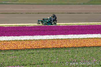 Nieuwsfoto's: tulpen een kopje kleiner - Boerderij