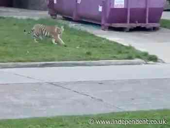 Tiger faces off with armed man as wild cat roams streets of Houston