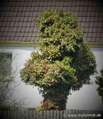 ein Baum mit Charakter, gesehen in Ebersdorf /Co. - Coburg - myheimat.de - myheimat.de
