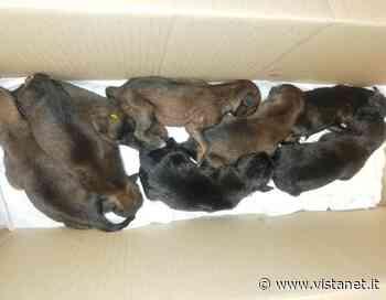 Buttati come immondizia, appena nati a Nuoro: per gli 8 cuccioli si cercano con urgenza balie per allattamento - vistanet