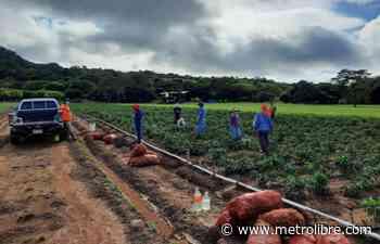 Guararé: Apoyo al agro es vital para reactivación - Metro Libre