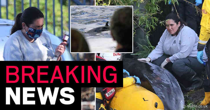 Baby whale stuck in River Thames euthanised 'to end its suffering'