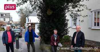 Braunfels Der Baum des Jahres steht in Braunfels - Mittelhessen