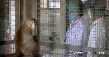 """Cómo es la """"súper vacuna"""" que sería efectiva contra los coronavirus y sus variantes y que ya fue probada en monos - infobae"""