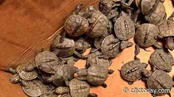 Cowabunga! More than 800 turtles rescued from storm drains - CFJC Today Kamloops