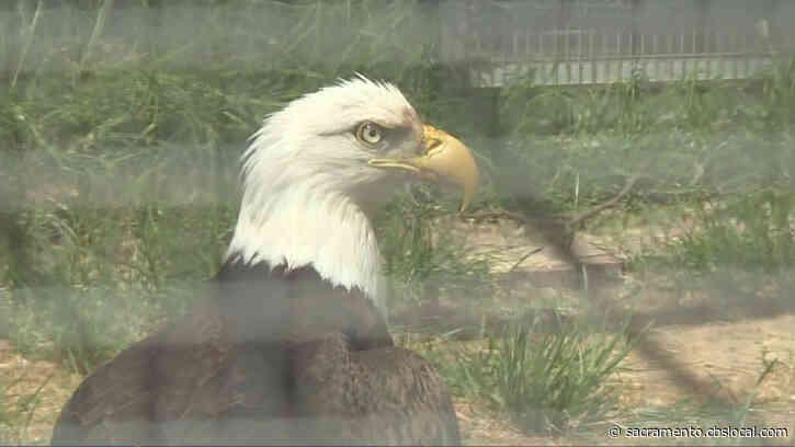 Wild Rescue: Wildlife Biologist Finds, Brings Injured Bald Eagle To Hughson Wildlife Center For Treatment