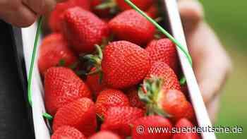 Offizieller Start der Erdbeersaison in Hessen - Süddeutsche Zeitung
