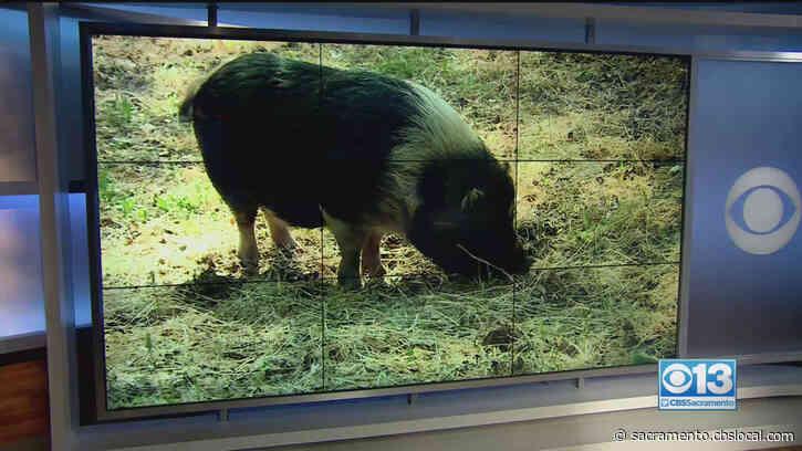 Pig Pursuit: 150-Pound Porker Eludes Authorities In El Dorado County, Found At Ranch Near Lotus