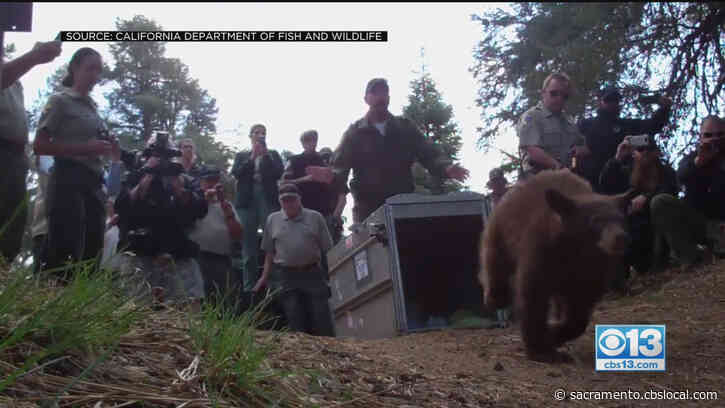 Trap, Tag, Haze: New Efforts To Get Bears To Behave In Tahoe Area